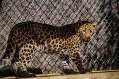 Leopardo del bambino Immagine Stock Libera da Diritti