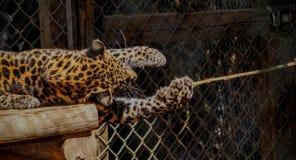 Leopardo del bambino Fotografia Stock