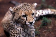 Leopardo del bebé Fotografía de archivo libre de regalías