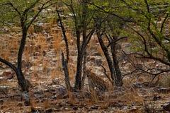Leopardo del Bengala dell'indiano, fusca di pardus della panthera, grande gatto macchiato che si trova sull'albero nell'habitat d fotografia stock