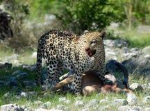 Leopardo del cazador   imágenes de archivo libres de regalías