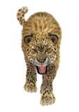 Leopardo del gato grande imagenes de archivo