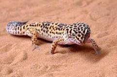 Leopardo del Gecko en la arena Imagen de archivo