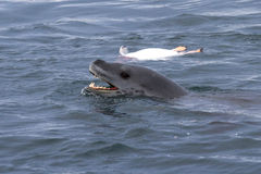 Leopardo del mar principal que flota cerca de pingüino matado Fotografía de archivo