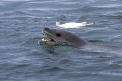 Leopardo del mare capo che galleggia vicino al pinguino ucciso Fotografia Stock