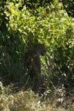 Leopardo del maschio di Serengeti Immagine Stock Libera da Diritti