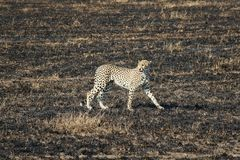 Leopardo del parco nazionale di Serengeti immagine stock libera da diritti