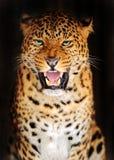 Leopardo del retrato fotografía de archivo