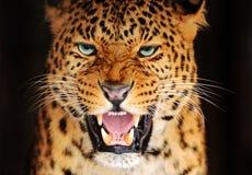 Leopardo del retrato imagen de archivo