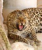 Leopardo del rugido fotografía de archivo libre de regalías