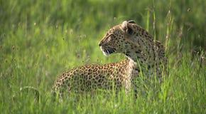 Leopardo del Serengeti Fotografia Stock
