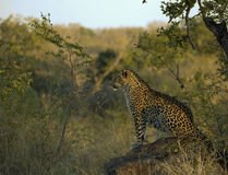 Leopardo del Sudafrica su roccia Fotografia Stock