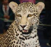 Leopardo del trofeo imagen de archivo libre de regalías