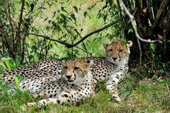 Leopardo dell'Amur Immagini Stock
