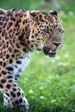 Leopardo dell'Amur Immagini Stock Libere da Diritti