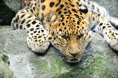 Leopardo dell'Amur immagine stock