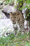 Leopardo dell'Amur Fotografia Stock