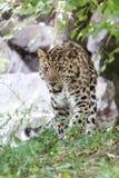 Leopardo dell'Amur Fotografia Stock