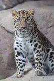 Leopardo dell'Amur fotografie stock