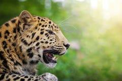 Leopardo dell'Amur al sole fotografie stock libere da diritti