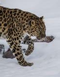 Leopardo dell'Amur all'azienda agricola tripla del gioco di D nel Montana immagine stock