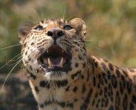 Leopardo dell'Amur che ringhia Fotografie Stock Libere da Diritti