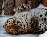 Leopardo dell'Estremo-Oriente, o lat del leopardo dell'Amur I orientalis di pardus della panthera sta riposando Primo piano, ritr immagine stock libera da diritti