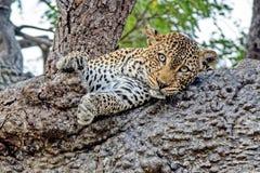 Leopardo dell'Estremo-Oriente, o leopardi dell'Amur Primo piano, ritratto Attualmente, il leopardo dell'Estremo-Oriente ? sull'or fotografia stock libera da diritti