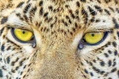 Leopardo dell'Estremo-Oriente, o leopardi dell'Amur Primo piano, ritratto Attualmente, il leopardo dell'Estremo-Oriente ? sull'or fotografia stock