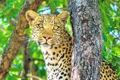 Leopardo dell'Estremo-Oriente, o leopardi dell'Amur Primo piano, ritratto Attualmente, il leopardo dell'Estremo-Oriente ? sull'or fotografie stock