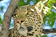 Leopardo dell'Estremo-Oriente, o leopardi dell'Amur Primo piano, ritratto Attualmente, il leopardo dell'Estremo-Oriente ? sull'or fotografie stock libere da diritti