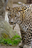 Leopardo della Sri Lanka fotografia stock