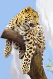 Leopardo della Sri Lanka Fotografia Stock Libera da Diritti
