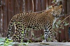 Leopardo della Sri Lanka Fotografie Stock