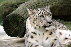 Leopardo delle nevi fotografie stock libere da diritti