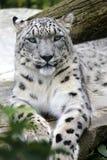 Leopardo delle nevi Fotografia Stock