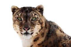 Leopardo delle nevi Immagine Stock