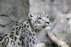 Leopardo delle nevi Immagini Stock Libere da Diritti