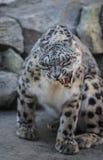Leopardo delle nevi Immagine Stock Libera da Diritti