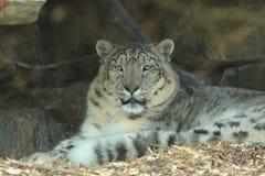 Leopardo delle nevi. Fotografia Stock Libera da Diritti