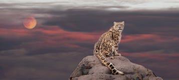 Leopardo delle nevi alla luce di luna Fotografia Stock