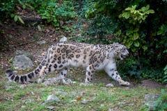 Leopardo delle nevi che cammina nella foresta nella stagione estiva Immagini Stock