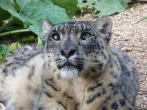 Leopardo delle nevi che esamina fuori il mondo immagini stock