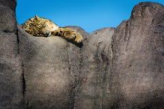 Leopardo delle nevi che si trova su un bordo della scogliera della roccia un giorno soleggiato Fotografia Stock Libera da Diritti