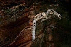 Leopardo delle nevi con la coda lunga nella montagna scura della roccia, parco nazionale di Hemis, Kashmir, India Scena della fau immagini stock libere da diritti