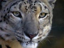 Leopardo delle nevi con uno sguardo fisso intenso Immagine Stock