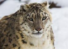 Leopardo delle nevi, irbis Fotografia Stock