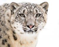 Leopardo delle nevi in neve V Immagini Stock Libere da Diritti