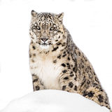 Leopardo delle nevi in neve XX Immagini Stock
