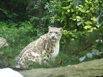 Leopardo delle nevi Parco Natura Viva ITALIA fotografia stock libera da diritti